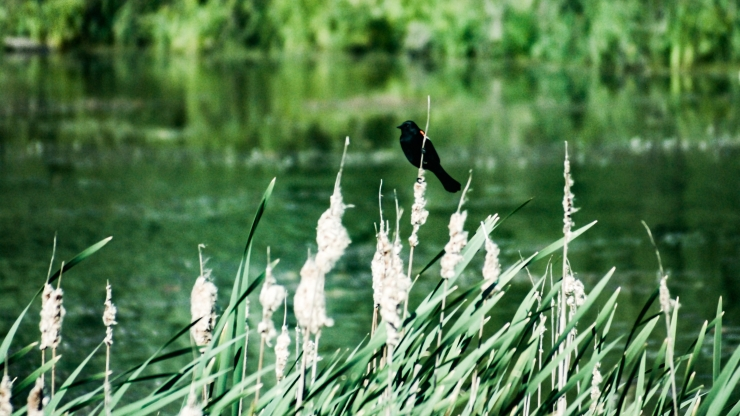 A blackbird sits on reeds overlooking Goldeneye Pond